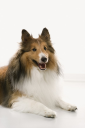 Royalty Free Photo of a Collie