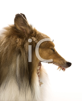 Royalty Free Photo of a Collie Dog Yawning