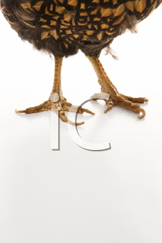 Royalty Free Photo of Golden Laced Wyandotte Chicken Feet