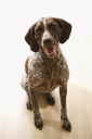 Royalty Free Photo of a German Short Haired Pointer Dog Sitting