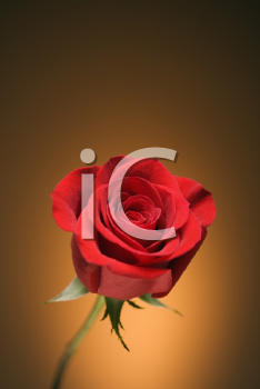 Royalty Free Photo of a Single Long-Stemmed Red Rose Against a Golden Background