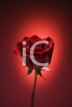 Royalty Free Photo of a Single Long-Stemmed Red Rose Against a Glowing Red Background