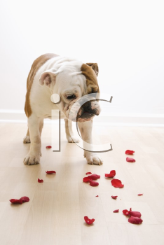 Royalty Free Photo of an English Bulldog Looking Down at Red Rose Petals