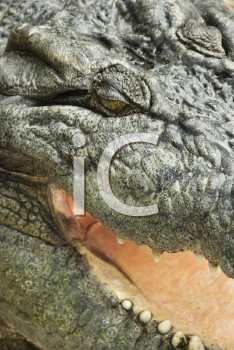 Royalty Free Photo of a Close-up of a Crocodile With an Open Mouth, Australia