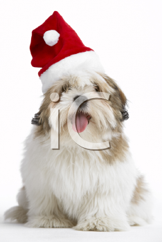 Royalty Free Photo of a Lhasa Apso in a Santa Hat