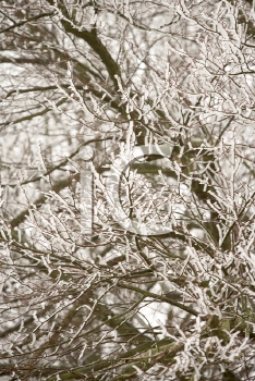 Royalty Free Photo of Snow and Ice on Branches