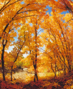Royalty Free Photo of an Arching Grove of Maple Tress in the Autumn