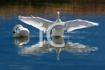 Royalty Free Photo of Wild, Courting or Mating Trumpeter Swans at the Teton Wildlife Refuge.
