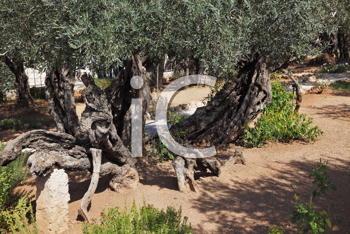 The great city of Jerusalem. Garden of Gethsemane.Thousand-year olive trees