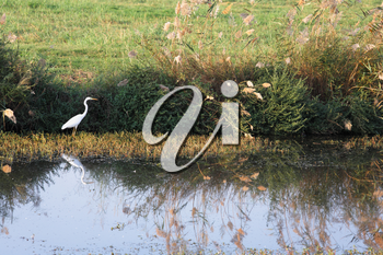 White heron at a stream. Foggy autumn morning in reserve