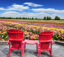Spring flowering ranunculus. Pair of bright plastic garden chairs. Multi-color field of large garden buttercups
