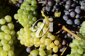 Different colors of grapes