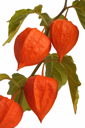 Royalty Free Photo of a Physalis