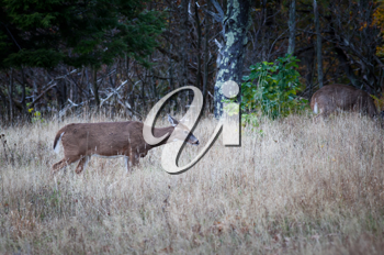 Royalty Free Photo of a Female Deer in the Bush