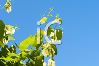 Royalty Free Photo of a Grapevine