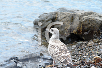 Royalty Free Photo of a Seagull