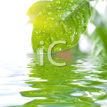 Royalty Free Photo of a Green Leaf Above Water