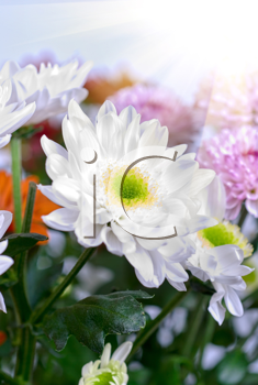 beauty white chrysanthemums flowers close up