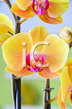 Close-up of a yellow orchid with pink spots