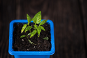 Pepper plant growing in a pot