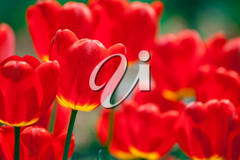 Royalty Free Photo of Red Tulips
