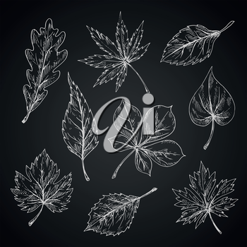 Leaves chalk sketches of maple and oak, birch and chestnut, elm and beech foliage on chalkboard. Nature, ecology or seasonal theme design
