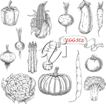 Farm corn cob and onion, pepper and eggplant, pumpkin and tomato, broccoli and garlic, asparagus and beans, beet and radish, cauliflower and daikon vegetables sketches with ribbon banner