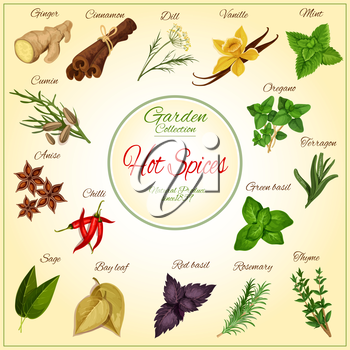 Hot Spices and spicy herb seasonings and condiments poster of vector ginger, cinnamon, dill, vanilla and mint leaves, cumin, anise and oregano, chilli pepper, terragon or tarragon and green basil, sag