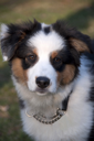 Royalty Free Photo of an Australian Shepherd