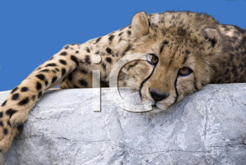 Royalty Free Photo of a Cheetah