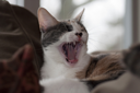 Royalty Free Photo of a Yawning Calico Cat