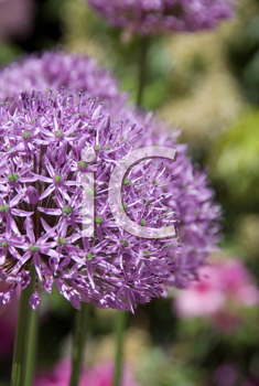 Royalty Free Photo of a Purple Flower