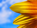 Sunflower petals against the deep blue sky.