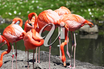 Beautiful pink flamingoes in a flock.