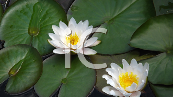 two blooming white water lilies (lotus) close up