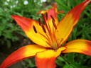 closeup picture of yellow and red lily flower