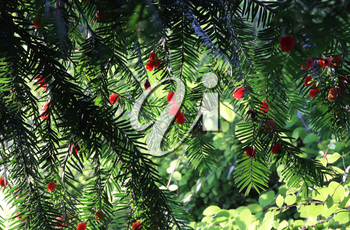 Red berries growing on evergreen yew tree branches, European yew (taxus baccata) tree
