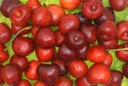 Fruits of a sweet cherry against green leaves.