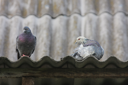 Royalty Free Photo of Two Pigeons