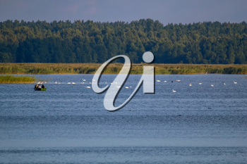 Floating waterfowl, young swans and ducks, wild birds swimming on the lake, wildlife landscape. Swans swimming on lake in Kemeri National park. Birds swims in Kaniera lake, Latvia; Large colony with white swans swims in the lake.