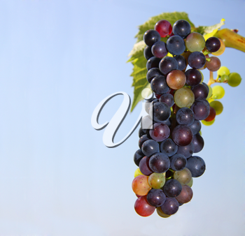 Royalty Free Photo of Grapes on a Vine with Blue Skies