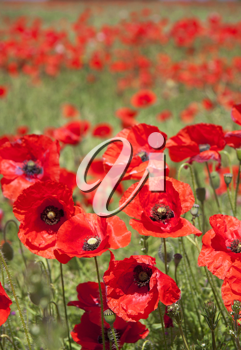 Royalty Free Photo of a Poppy Field
