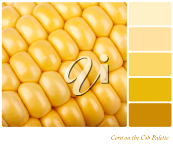 Corn on the cob background. Colour palette of complimentary shades.