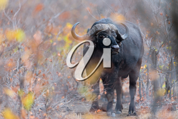 Cape buffalo also known as African buffalo in the wilderness