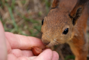 Royalty Free Photo of a Squirrel Taking a Nut From a Hand