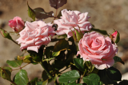 Royalty Free Photo of Pink Roses