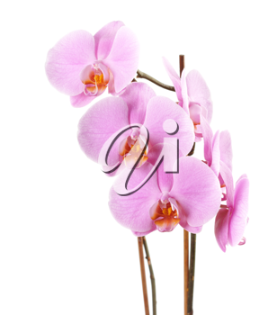 Royalty Free Photo of an Orchid