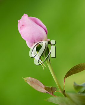 Beautiful pink rose on the natural background.Shallow focus