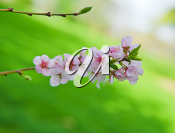Beautiful blossoming branch of an apple-tree on a natural background.