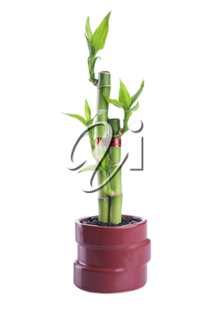 Chinese lucky Bamboo with red ribbon - happiness symbol, isolated on a white background